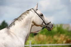 White horse portrait Royalty Free Stock Image