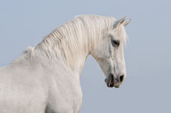 White horse portrait Stock Photos