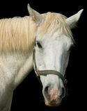 White Horse portrait Stock Photography