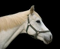 White Horse portrait Royalty Free Stock Photo