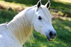 White Horse Portrait. White horse with a blade of grass in it's mouth Stock Photo