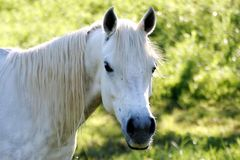White Horse Portrait. White horse with a blade of grass in it's mouth Royalty Free Stock Photography