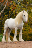 White horse portrait in autumn. White shire draft horse portrait in autumn Royalty Free Stock Photo