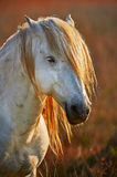 White horse portrait in backlight. At sunset in the Camargue, vertically Royalty Free Stock Photos