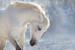 White horse portrait. Beautiful white horse run in snow field stock images