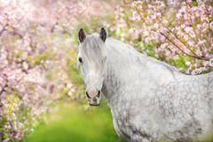 White horse portrait in blossom. White horse portrait in spring pink blossom tree stock photos