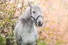 White horse portrait on blossom royalty free stock images