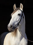 White horse portrait in dark background Royalty Free Stock Photo