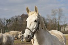 White horse portrait. Detailed Picture of the beautiful white horse head outside on the pasture Stock Images