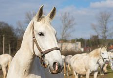 White horse portrait. Detailed Picture of the beautiful white horse head outside on the pasture Royalty Free Stock Photo