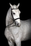 White horse  portrait Royalty Free Stock Images