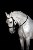 White horse  portrait Royalty Free Stock Photos