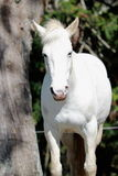 White Horse. A portrait of a white horse employed for Equine Therapy stock photography
