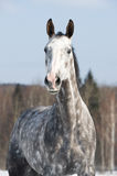 White horse portrait in front focus Royalty Free Stock Images