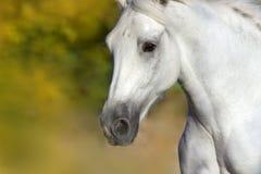 White horse portrait Stock Photography