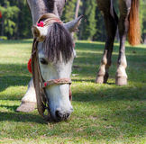 White horse portrait, horse grazing Royalty Free Stock Image