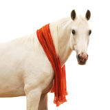 White horse portrait isolated on white. White arabian horse stallion portrait isolated on white Royalty Free Stock Photography
