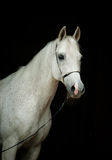 White horse portrait isolated on white Royalty Free Stock Photo