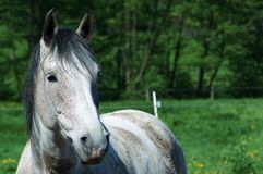 White horse portrait with meadow. A bigger portrait containing also the back of the horse Stock Photo