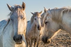 White horse portrait on natura sunset l background. Close up. Royalty Free Stock Photo