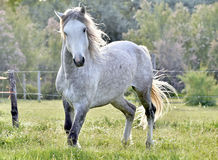 White horse portrait on natural background. Close up Royalty Free Stock Photos