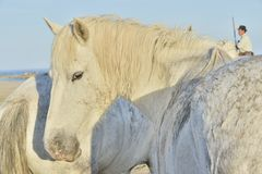 White horse portrait on natural background. Close up. Stock Photography