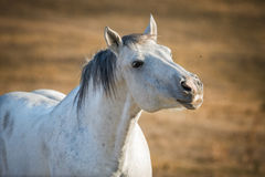 White horse portrait on natural background Royalty Free Stock Image