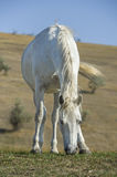 White horse portrait on natural background Royalty Free Stock Photos