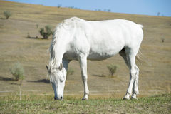 White horse portrait on natural background Stock Photos