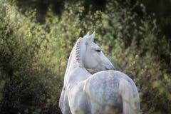 White horse portrait royalty free stock photo