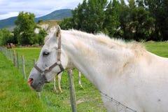 White horse portrait outdoor meadow grassland Royalty Free Stock Photos