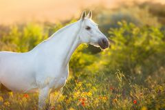 White horse in sunrise light. White horse portrait in poppy flowers at sunrise light royalty free stock image