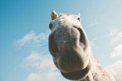 White horse portrait selfie funny pets. Close up nose wild nature animal thematic Stock Photos