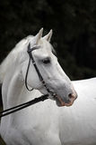 White horse portrait in suimmer woods background Royalty Free Stock Images