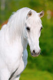 White horse portrait in summer day. White arabian horse portrait in summer day Royalty Free Stock Photography