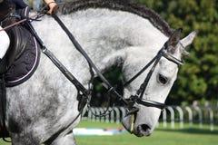 White horse portrait under saddle Stock Photography