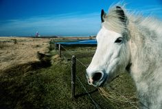 White horse portrait whit lighthouse. In Holland stock photo