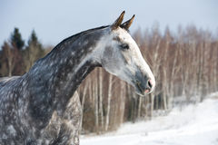 White horse portrait on the winter background Stock Images