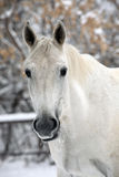 White horse portrait in winter woods background Stock Photos