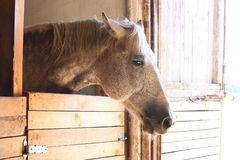 White horse portrait in the wooden stable Stock Photos