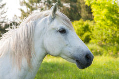 White horse. Is posing for photoshoot Royalty Free Stock Images