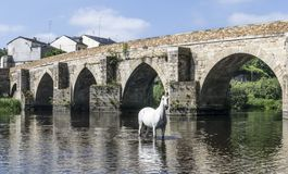 White horse posing in the river in front of a roman bridge. White stallion horse standing in the river in front of a big roman bridge in Lugo, Spain royalty free stock photography