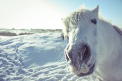 Curious white horse posing in the camera stock images