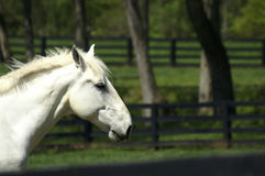 White Horse Profile Royalty Free Stock Photos