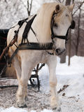 White horse pulling sleigh. In winter Royalty Free Stock Photo