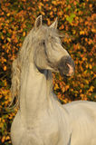 White horse pura raza espanola in autumn. White horse pura raza espanola, andalusian cheval in autumn Stock Image