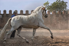 White Horse of purebred Spanish Royalty Free Stock Photography
