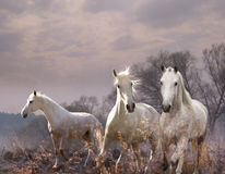 White horse in a purple haze Stock Photography