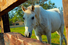 White horse on the ranch Stock Photo