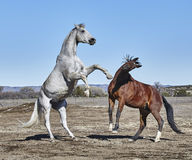 White Horse Rearing with Brown Horse Stock Photos